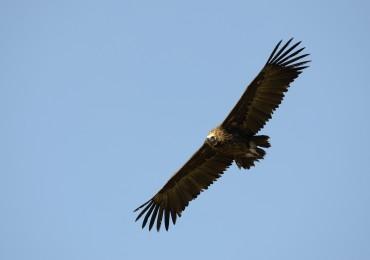 """El Proyecto Life """"Feeding Scavengers"""" mejora el hábitat alimenticio de las aves necrófagas"""