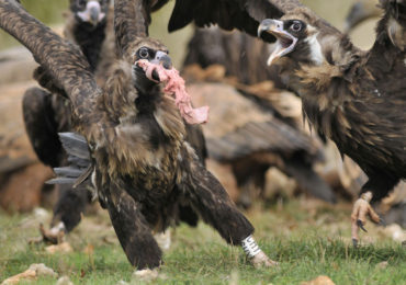 "The LIFE+ ""Feeding Scavengers Project"" (CBD-Habitat) on the Vulture Conservation Foundation (VCF)"