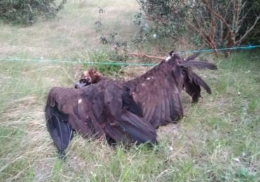 Black vulture recovered in one of the IBAs of the Life Feeding Scavengers